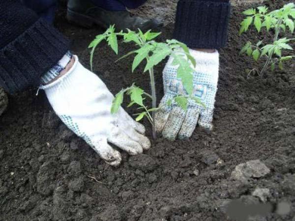 высаживаем картофель